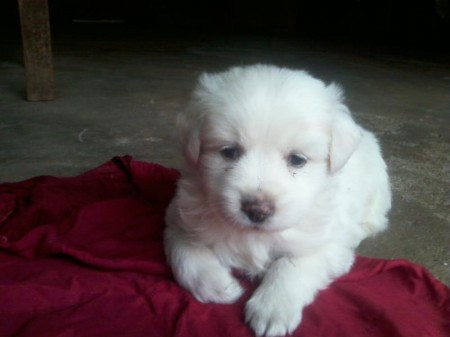 Native American Indian Dog White