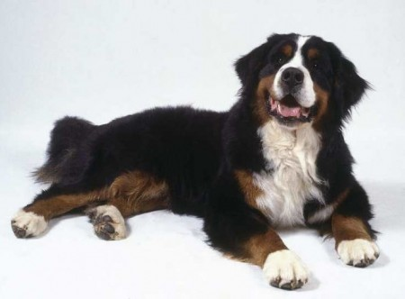 Non Shedding Dog Breeds List