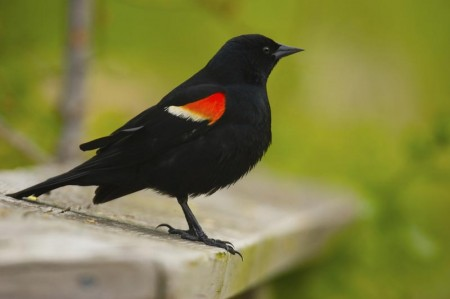 North American Birds Images