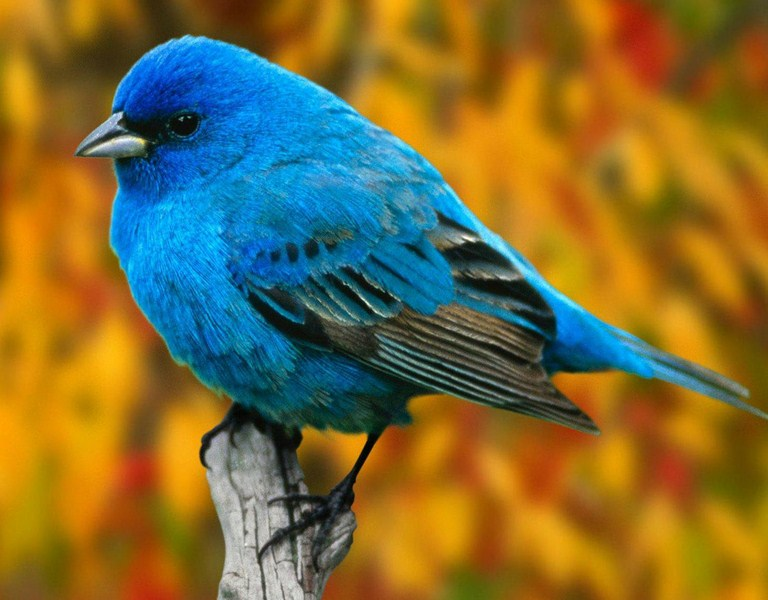 North American Birds That Are Blue