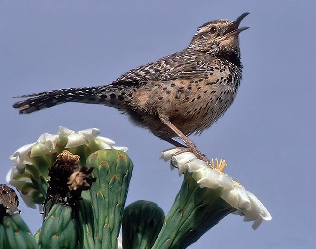 Oklahoma State Bird Flower And Tree