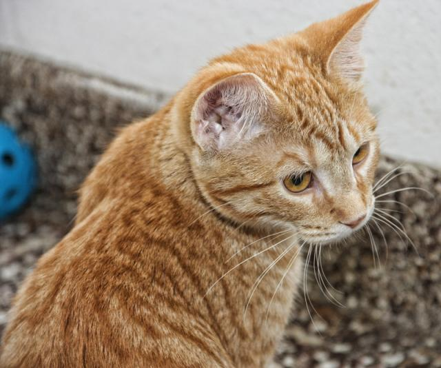 Orange Tabby Cat Breed