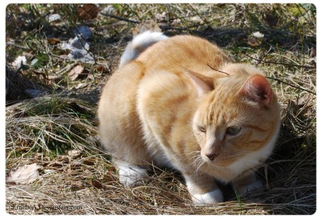 Orange Tabby Cat Pictures