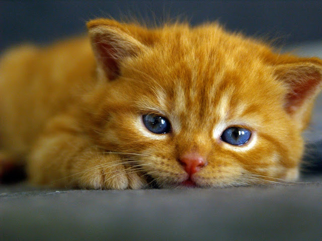 Orange Tabby Cat With Blue Eyes