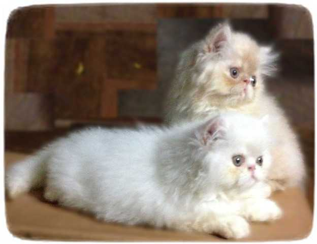 Persian Cats For Adoption