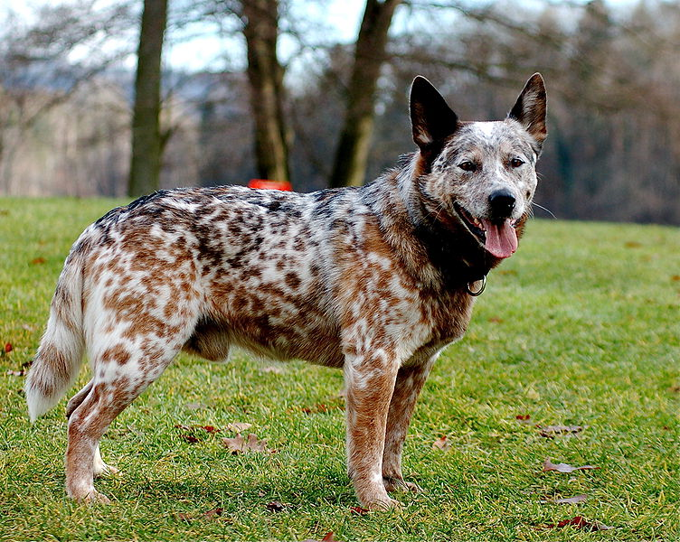 Photos Of Australian Cattle Dogs