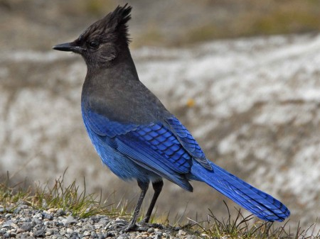 Pics Of Blue Jays Birds