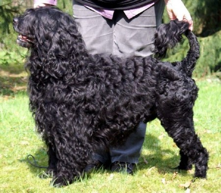 Pics Of Portuguese Water Dogs