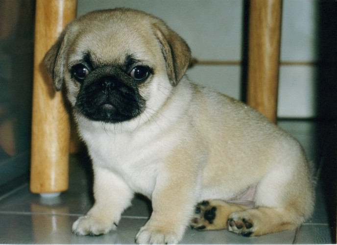 Pics Of Puppies Pugs
