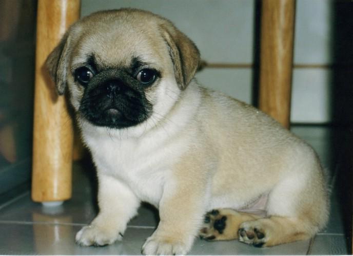 Pics Of Puppies Pugs