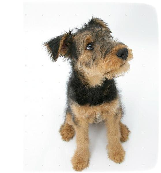 Pictures Of Airedale Terrier Puppies