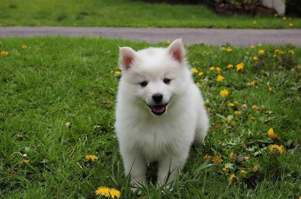 Pictures Of American Eskimo Puppies