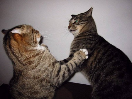 Pictures Of Cats Fighting