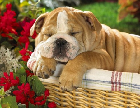Pictures Of English Bull Dogs