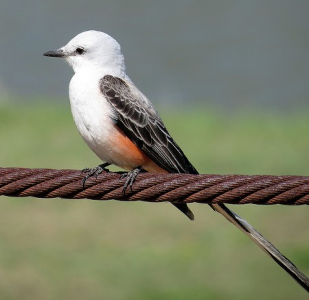 Pictures Of Oklahoma State Bird