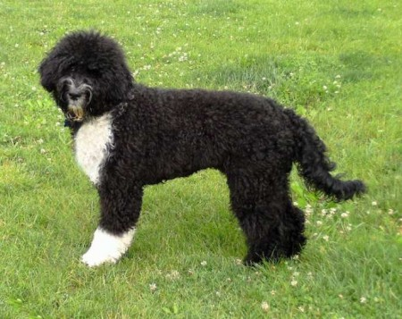 Pictures Of Portuguese Water Dogs