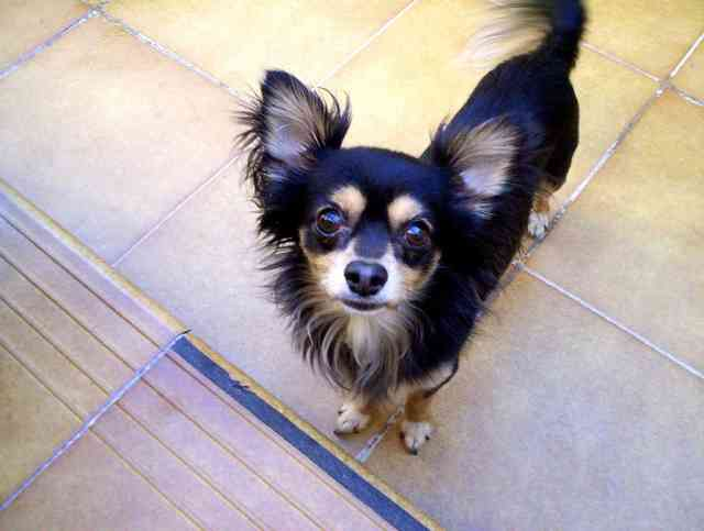 Pictures Of The Smallest Dog Breeds