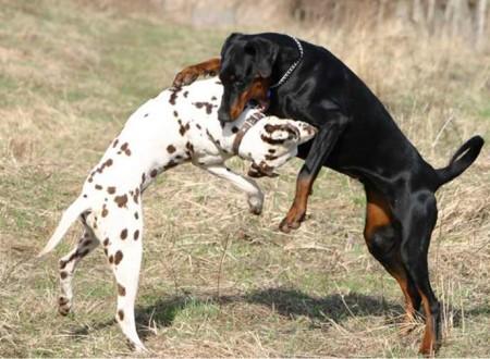 Pit Bull Dog Fight