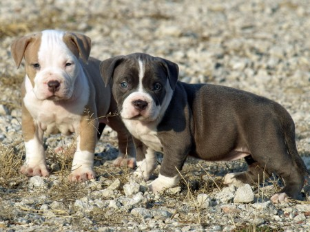 Pit bull puppies images