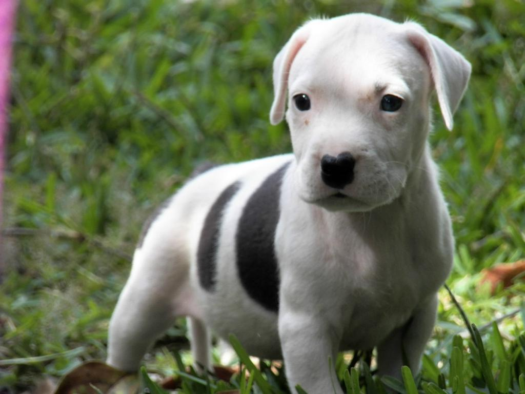 Pitbull Dog Pics