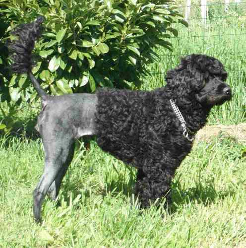 Portuguese Water Dog Breeders Ct
