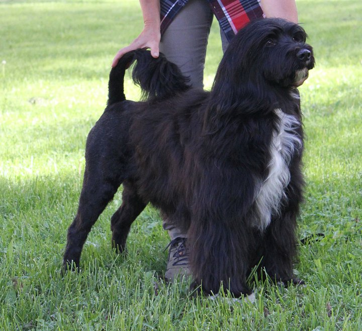 Portuguese Water Dog Breeders Ma