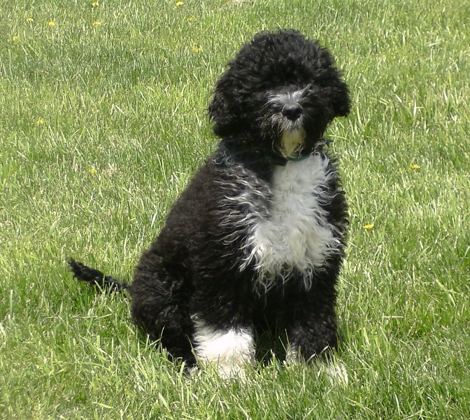 Portuguese Water Dog Breeders Ny