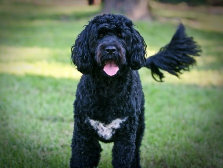 Portuguese Water Dog Breeders Mapet Photos Gallery Dog