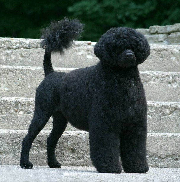 Portuguese Water Dog Breeders Texas