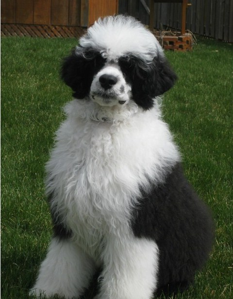 Portuguese Water Dog Breeders Uk