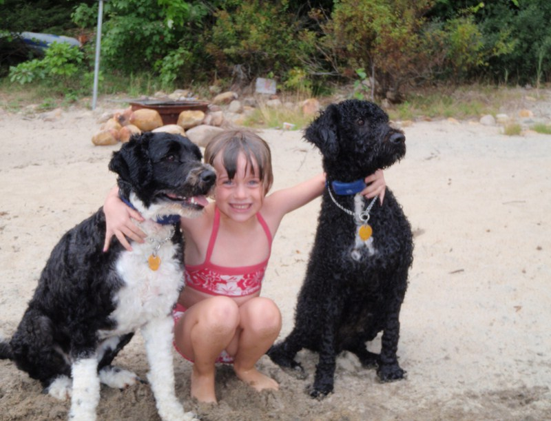 Portuguese Water Dog For Adoption