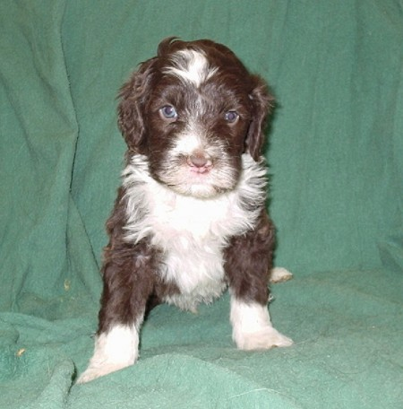 Portuguese Water Dog Puppies Brown
