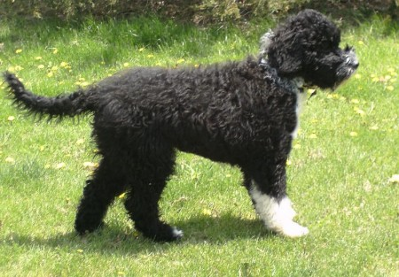 Portuguese Water Dogs Images