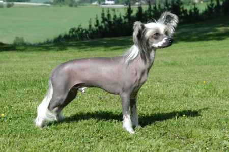 Rare Chinese Dog Breeds
