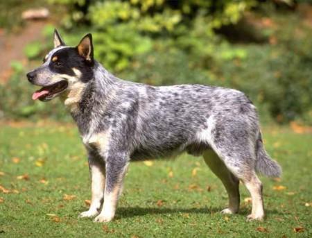 Rare Dog Breeds Australia