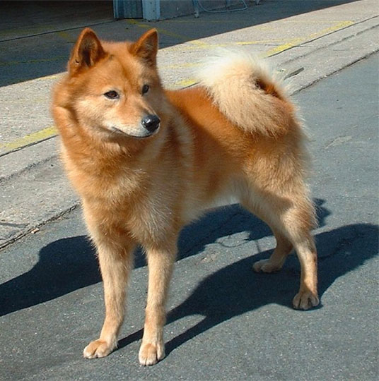 Rare Dog Breeds Pictures