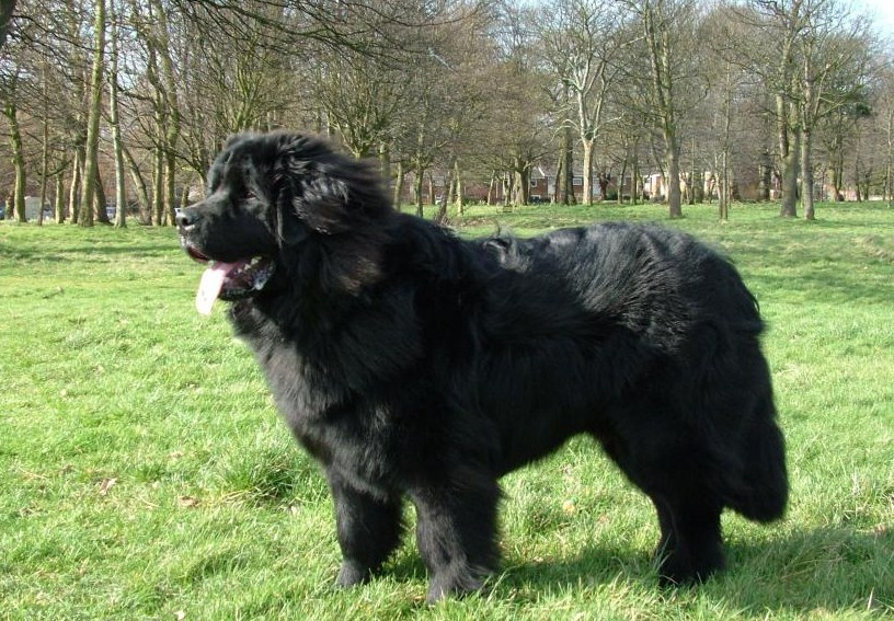 Rare Extra Large Dog Breeds