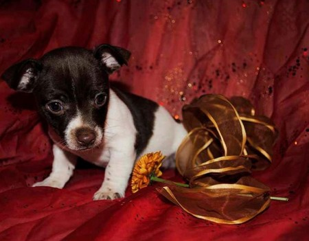 Rat Terrier Puppies Images
