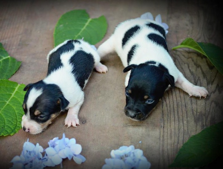 Rat Terrier Puppies Pictures