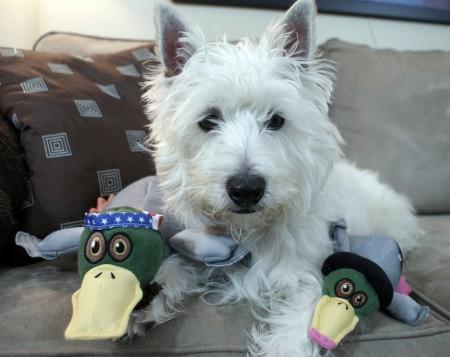 Rat terrier puppies shreveport la