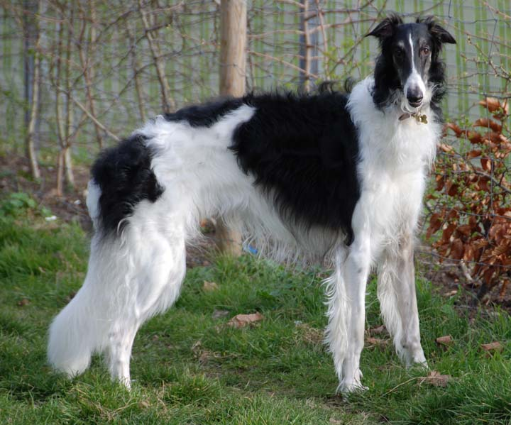 Russian Dog Breeds Borzoi
