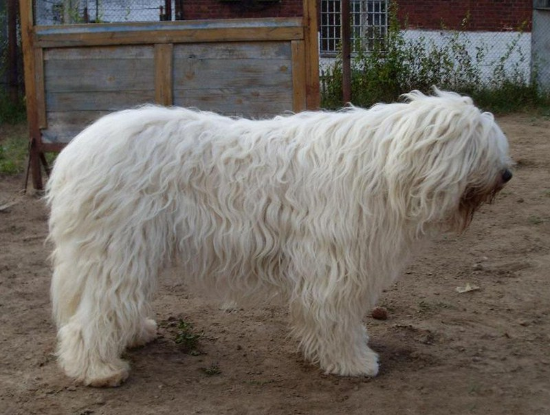 Russian Guard Dog Breeds
