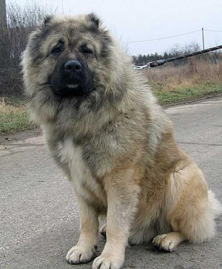 Russian Prison Guard Dog Breeds