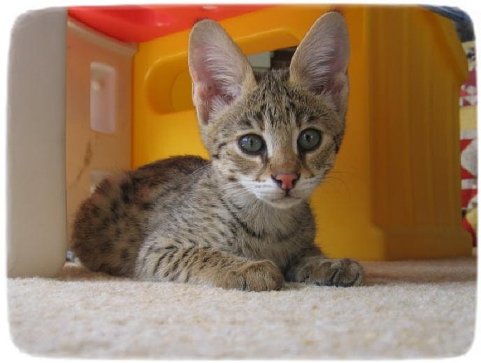 Savannah Cats For Adoption