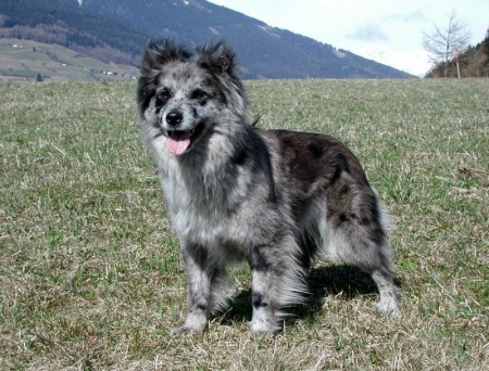 Shepherd Dog Breeds List