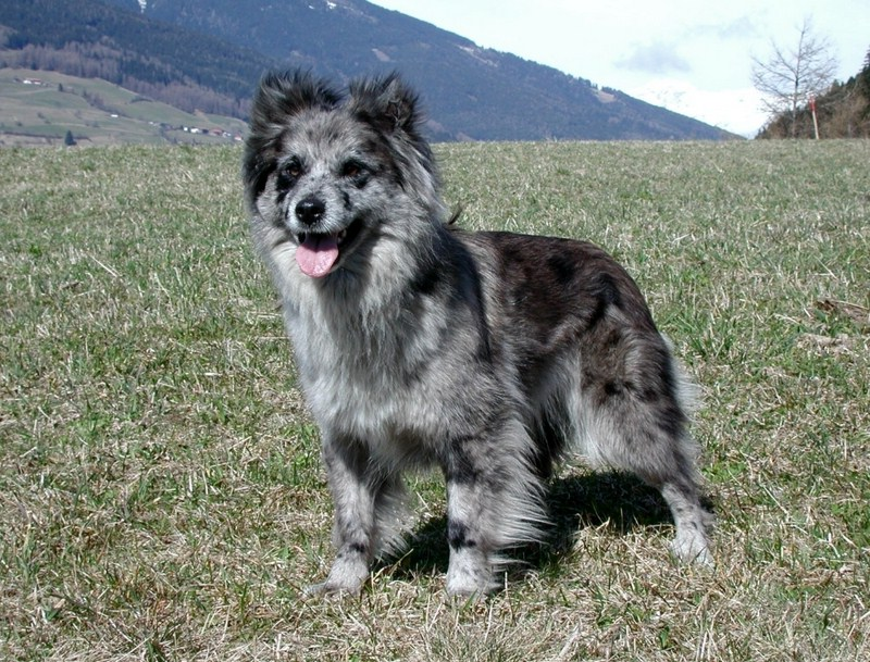 Shepherd Dog Breeds List