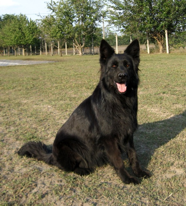 Shepherd Dog Breeds Pictures