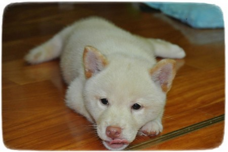Shiba Inu Puppy Angry