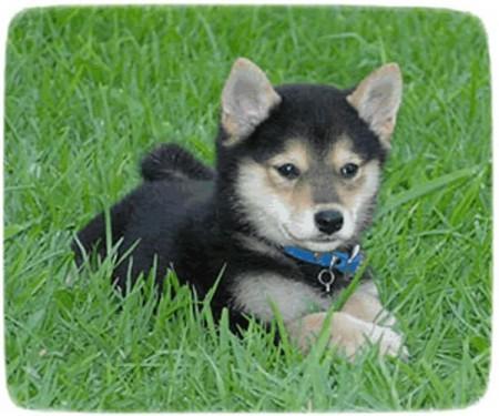 Shiba Inu Puppy Black