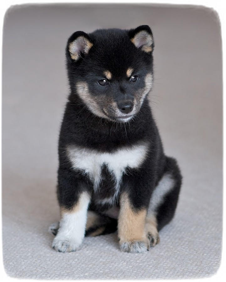 Shiba Inu Puppy Black And Tan